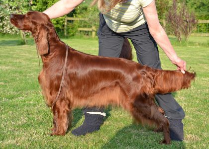 Gwendariff Whipsa Daisy - Mother of 1 Show Champion and RCC winner