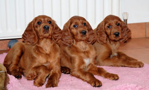 Sisters from Lucy and Sh Ch Danaway Lancelot litter